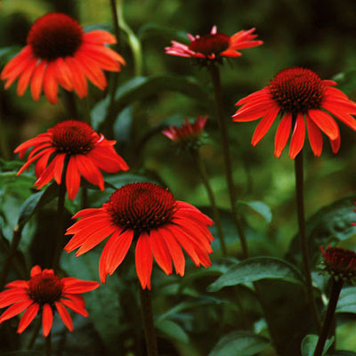 Echinacea x 'Big Sky Sundown'