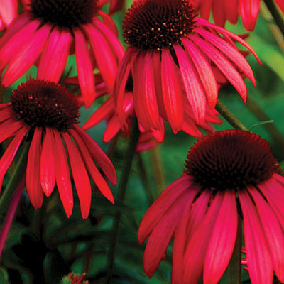 Echinacea x 'Big Sky Twilight'