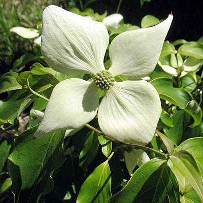 Cornus k. 'Snow Tower'
