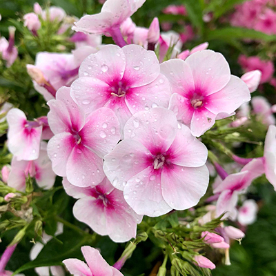 Phlox p. 'Volcano Soft Pink with Dark Eye'