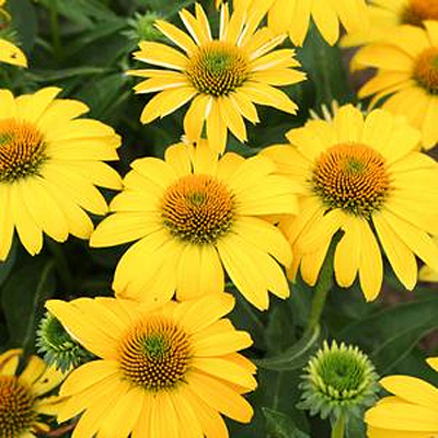 Echinacea purpurea 'Sombrero Lemon Yellow II'