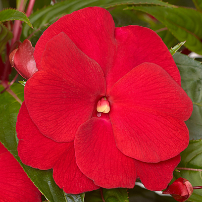Impatiens 'Super Sonic Red'