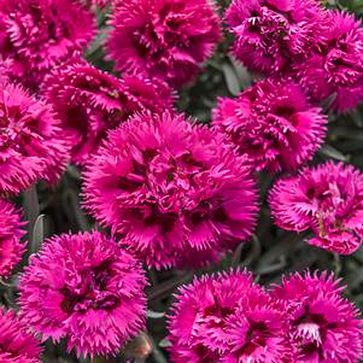 Dianthus x 'Fruit Punch Spiked Punch'
