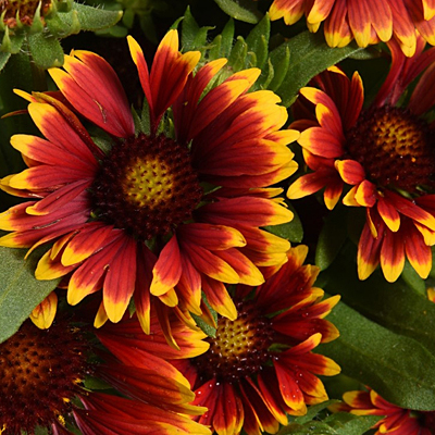 Gaillardia aristata 'Spintop Orange Halo'