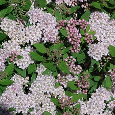 Spiraea j. 'Little Princess'