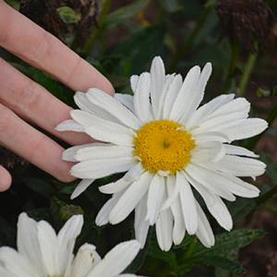 Leucanthemum x s. 'Spoonful of Sugar'