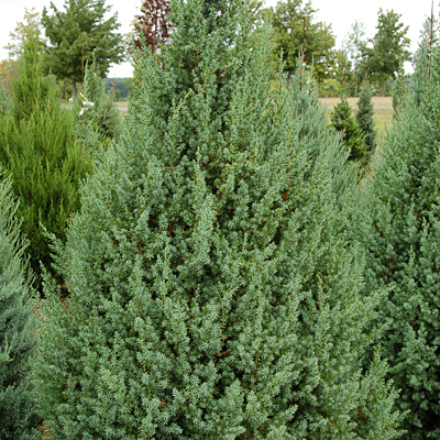 Juniperus x 'Star Power'