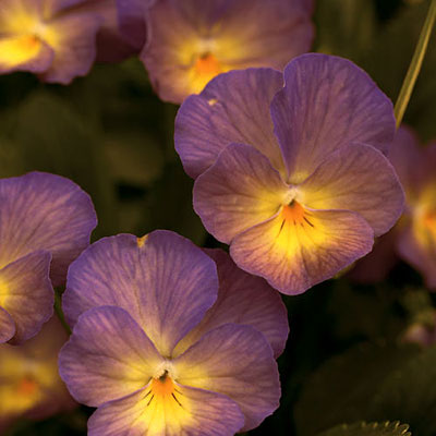 Viola c. 'Starry Night'