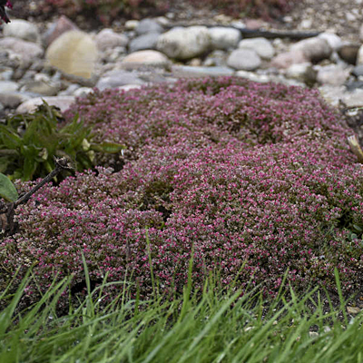 Sedum cauticola 'Steel the Show'