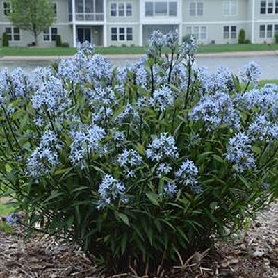 Amsonia t. 'Storm Cloud'