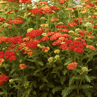 Achillea m. 'Strawberry Seduction'