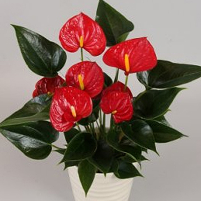 Anthurium 'Success Red'