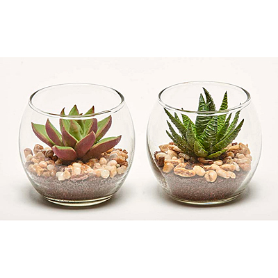 Succulent in Glass Container