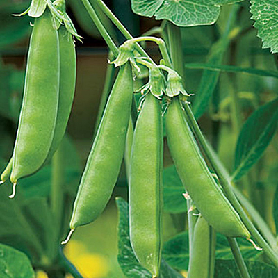 Seeds - Pea, Snap 'Sugar Snap'