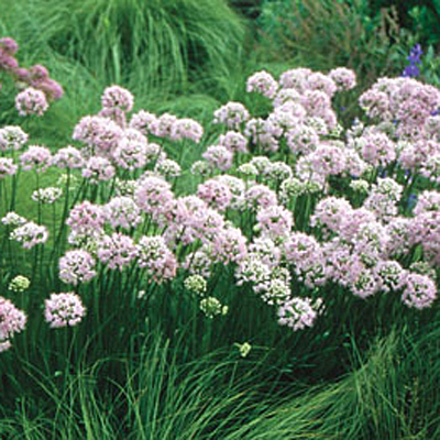 Allium ta. 'Summer Beauty'