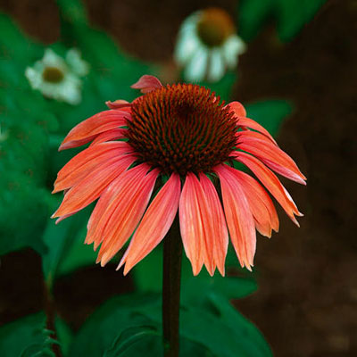 Echinacea x 'Big Sky Summer Sky'