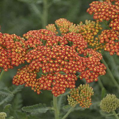 Achillea x 'Sassy Summer Sunset'