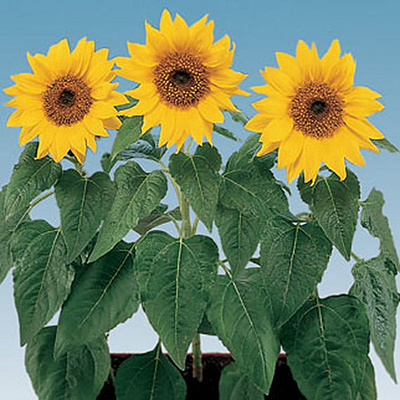 Seeds - Sunflower 'Elf'