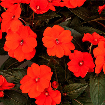 Impatiens 'SunPatiens Orange'