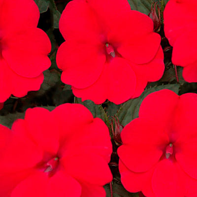 Impatiens 'SunPatiens Deep Rose'