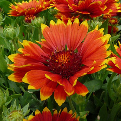 Gaillardia x g. 'Sunset Flash'