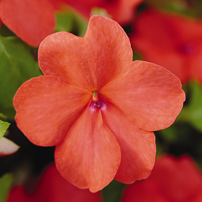 Impatiens 'Super Elfin Salmon'