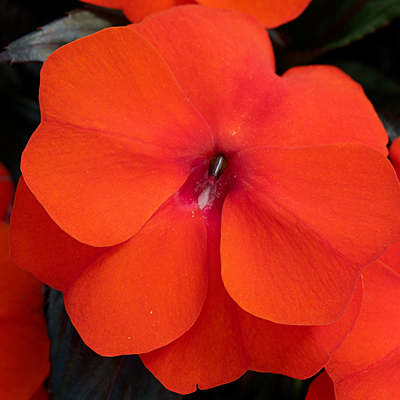 Impatiens 'Super Sonic Flame'