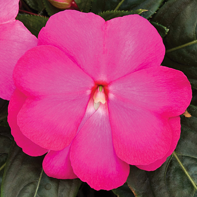 Impatiens 'Super Sonic Hot Pink'