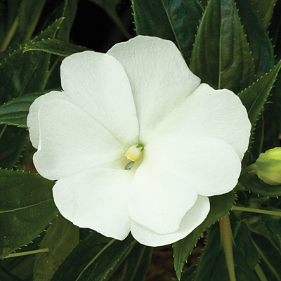 Impatiens 'Super Sonic White'