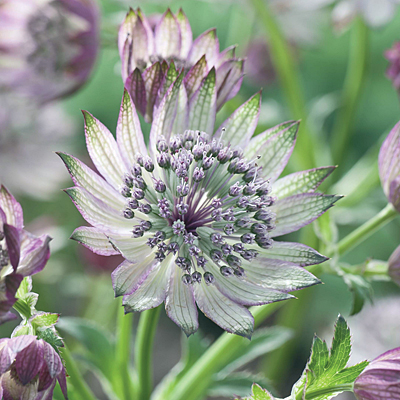 Astrantia major 'Super Star'