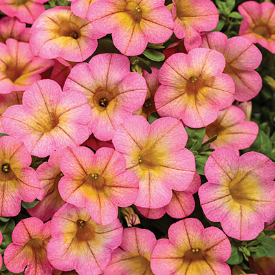 Calibrachoa 'Superbells Honeyberry'