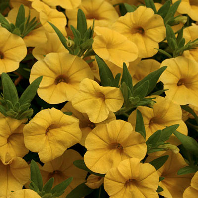 Calibrachoa 'Superbells Yellow'