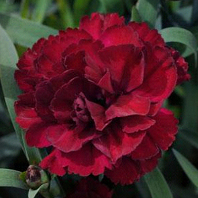 Dianthus x 'Super Trouper Purple'