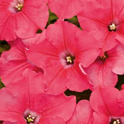 Petunia 'Supertunia Giant Pink'
