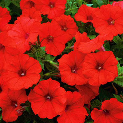 Petunia 'Supertunia Surfinia Red'