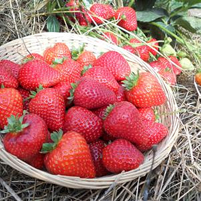 Fragaria 'Sweet Kiss'