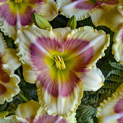 Hemerocallis 'When My Sweetheart Returns'