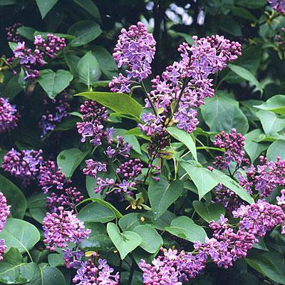 Syringa vulgaris Miss Ellen Willmott-Lilas Miss Ellen Willmott plant in 9 cm pot