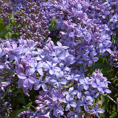 Syringa vulgaris 'Wonderblue'