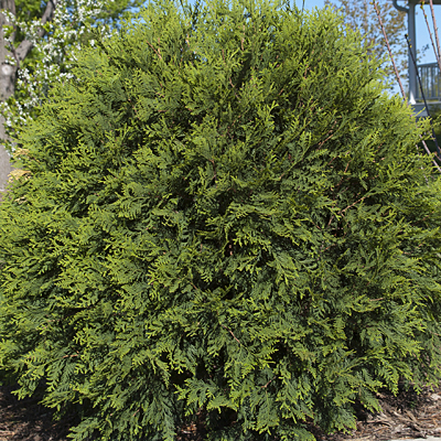 Thuja occidentalis 'Technito Globe'