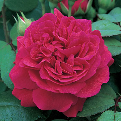 Rosa 'Tess of The d'Urbervilles'