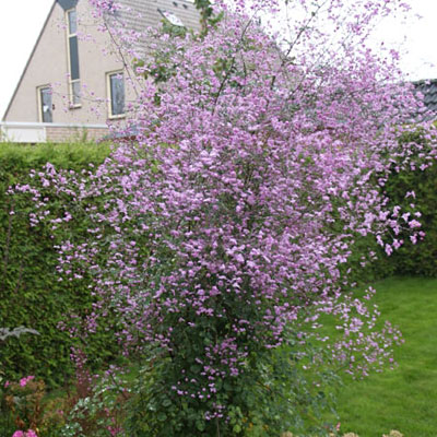 Thalictrum x 'Splendide'