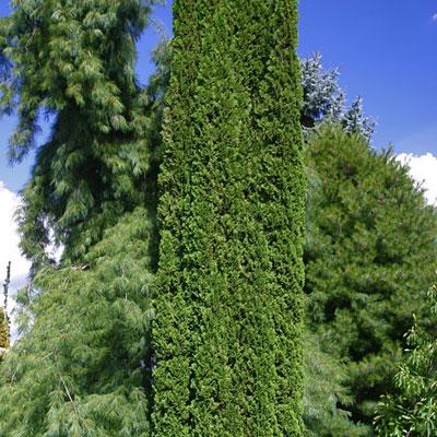 Thuja occidentalis 39 smaragd 39 estabrook 39 s - Thuja smaragd growth rate ...
