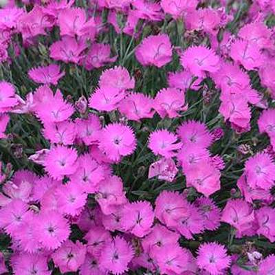 Dianthus x 'Paint the Town Fuchsia'