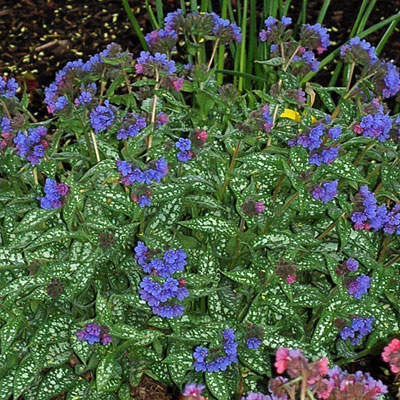 Pulmonaria x 'Trevi Fountain'