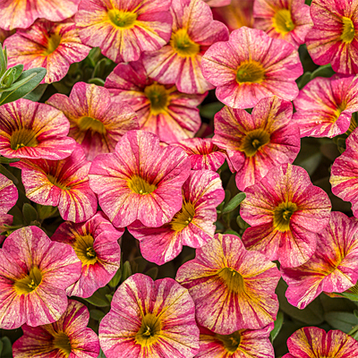 Calibrachoa 'Superbells Tropical Sunrise'