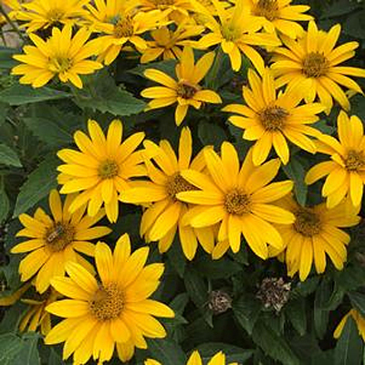 Heliopsis h. 'Tuscan Gold'