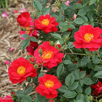 Rosa 'Oso Easy Urban Legend'