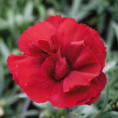 Dianthus x 'Super Trouper Velvet Red'