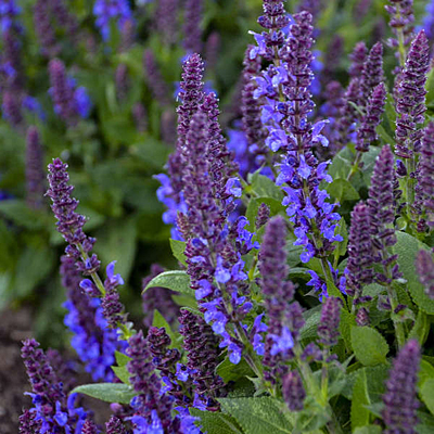 Salvia n. 'Violet Profusion'